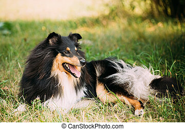 Staring To Camera Tricolor Scottish Rough Long-Haired Collie...