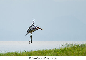 Marabou Stork suspended in mid air - A Marabou Stork...