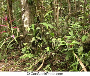 Bromeliad flowering in cloudforest - In Western Ecuador