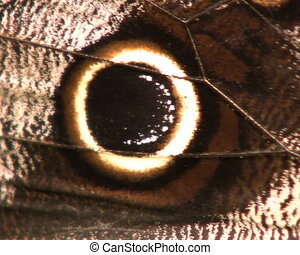Owl butterfly (Caligo eurilochus) - Feeding on rotting fruit