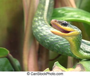 Cloudforest whipsnake Chironius mo - in cloudforest, Western...