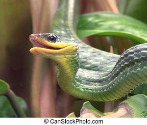 Cloudforest whipsnake (Chironius mo - in cloudforest,...