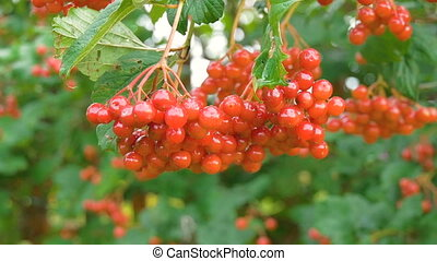 Red Viburnum berries grow on bushes HD