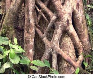 Strangler fig (Ficus sp.) - Roots of strangler fig entwined...