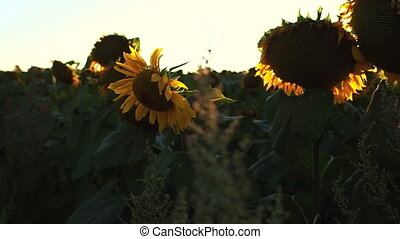 Flowering Sunflowers on a Background Sunset . Agriculture