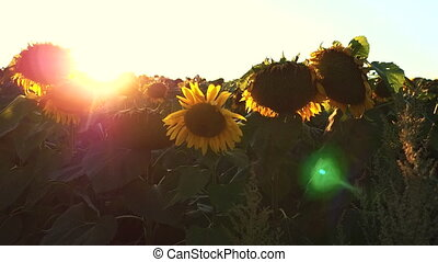 Flowering Sunflowers on a Background Sunset in Slow Motion