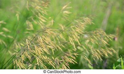 Bromus meadow grass in summer day - Bromus meadow grass in a...