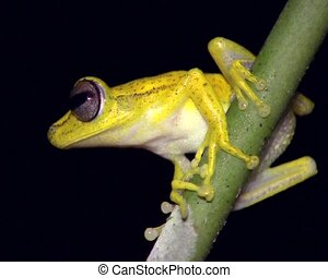 Gunthers banded treefrog Hypsiboa - Male on a stem over a...