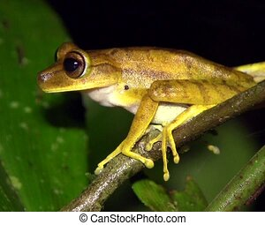 Gunthers banded treefrog Hypsiboa - Large female filmed at...