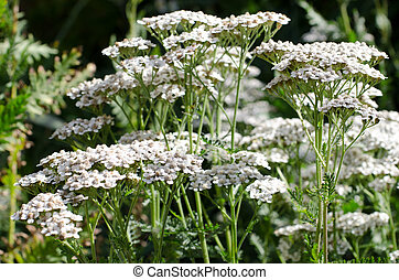 cow parsley growing in a garden
