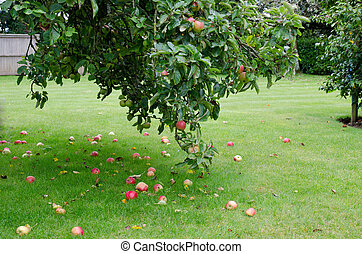 Apple tree with lots of fallen apples on the ground