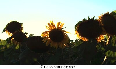 Flowering Sunflowers on a Background Sunset in 4k UHD