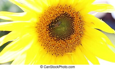 bees collecting nectar on the sunflower. close-up