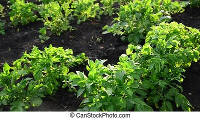 green tops of potatoes on the field - A green tops of...