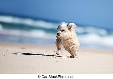 Small cute dog running on a white beach - Small cute dog...