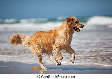 Young golden retriever running on the beach - Focused young...