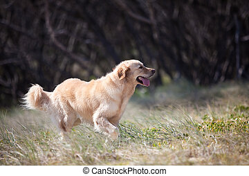 Golden retriever happily running in the grass