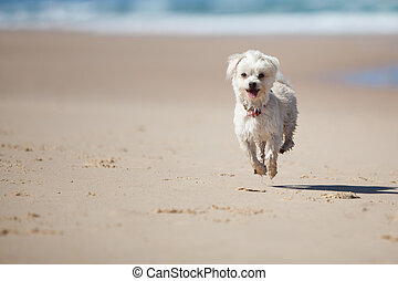Small cute dog jumping on a sandy beach - Small cute dog...