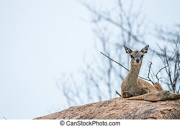 A female Klipspringer laying on a rock in the Kruger.