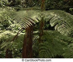 Tree ferns - In cloudforest near Mindo, Ecuador
