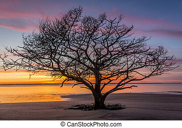 Live Oak Tree Growing on a Georgia Beach at Sunset - Live...