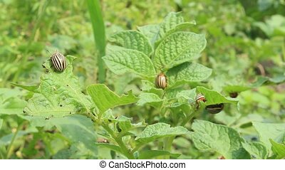 colorado beetles sit on leaves - colorado gluttonous bugs...
