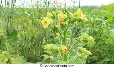 flowers of tobacco - yellow tender flowers of tobacco in the...