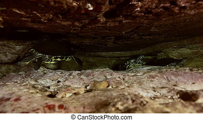 Yellow turtle in cave lake Yucatan Mexican cenote