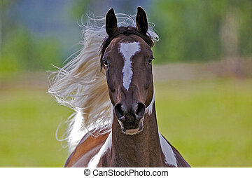 Pinto Horse galloping - Pinto Arabian Gelding galloping with...