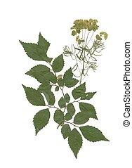 Herbarium, con, seco, apretado, verde, verano, pradera,...