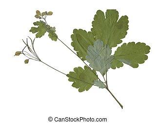 seco, verano, planta, pradera, herbarium, Plano de fondo,...