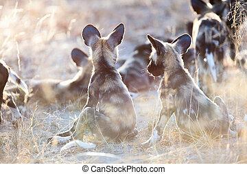 African Wild Dog puppies - Endangered animals African wild...