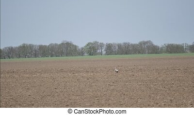 Stork on a field - Stork walk on a field