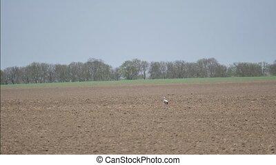 Stork on a field - Stork walk on a field