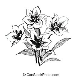 Black and white sketch of clematis flowers. - Black and...