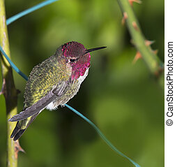 Ruby Throated Hummingbird (male) sitting on garden wire