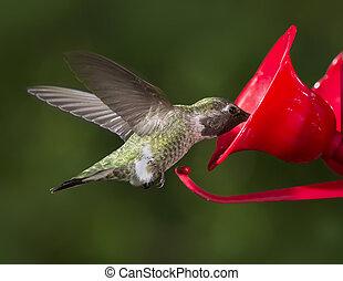 hacia, vuelo,  colubris), alimentador,  throated, hembra,  (archilochus, rubí, Colibrí