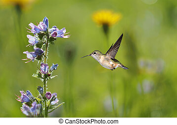 Hummingbird and meadows in late summer