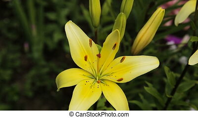 Yellow lilies, close up. - Yellow Lily Flowers in the...