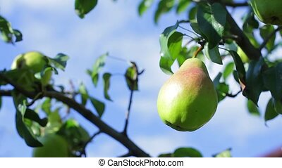Green pear on tree branch. Leaves moving in the wind. Fruit...