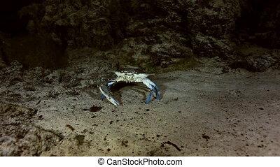 Blue crab in cave bush lake Yucatan Mexican cenote - Blue...