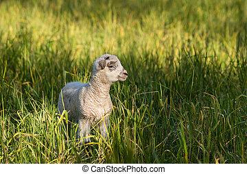 closeup of little lamb in grass - closeup of little lamb...
