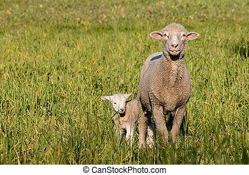 oveja, con, recién nacido, cordero