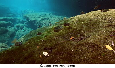 Striped fish in bush lake Yucatan Mexican cenote. - Striped...