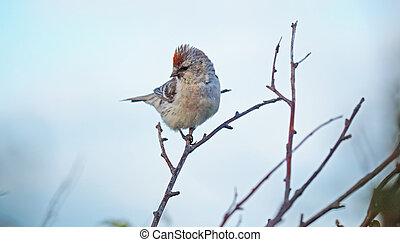 Carduelis flammea bird on a branch