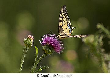 Butterfly feeding on flowers.