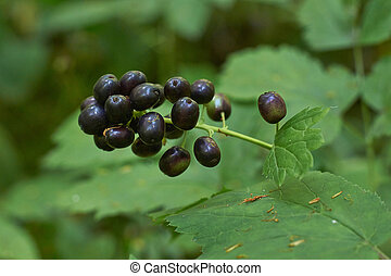 A rare plant Actaea spicata  is very poisonous fruit.