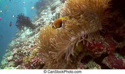 Anemones and multicolored clown fish Maldives - Anemones and...
