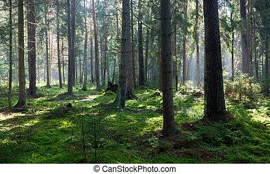 Wet oniferous stand of Bialowieza Forest - Wet coniferous...