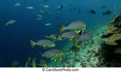 School Flok of tropical striped fish on reef.